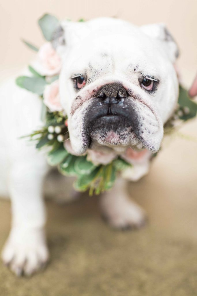 Beautiful Bull Dog Rocking His Flower Collar